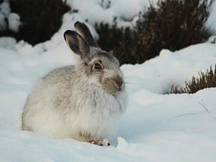 picture of a hare on a mountain